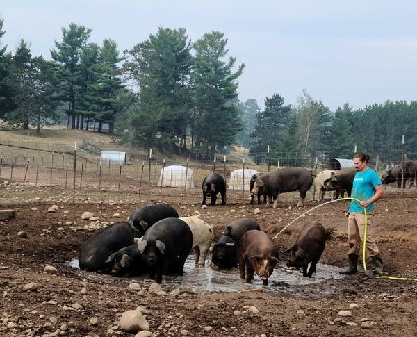 farmer with pigs and cattle