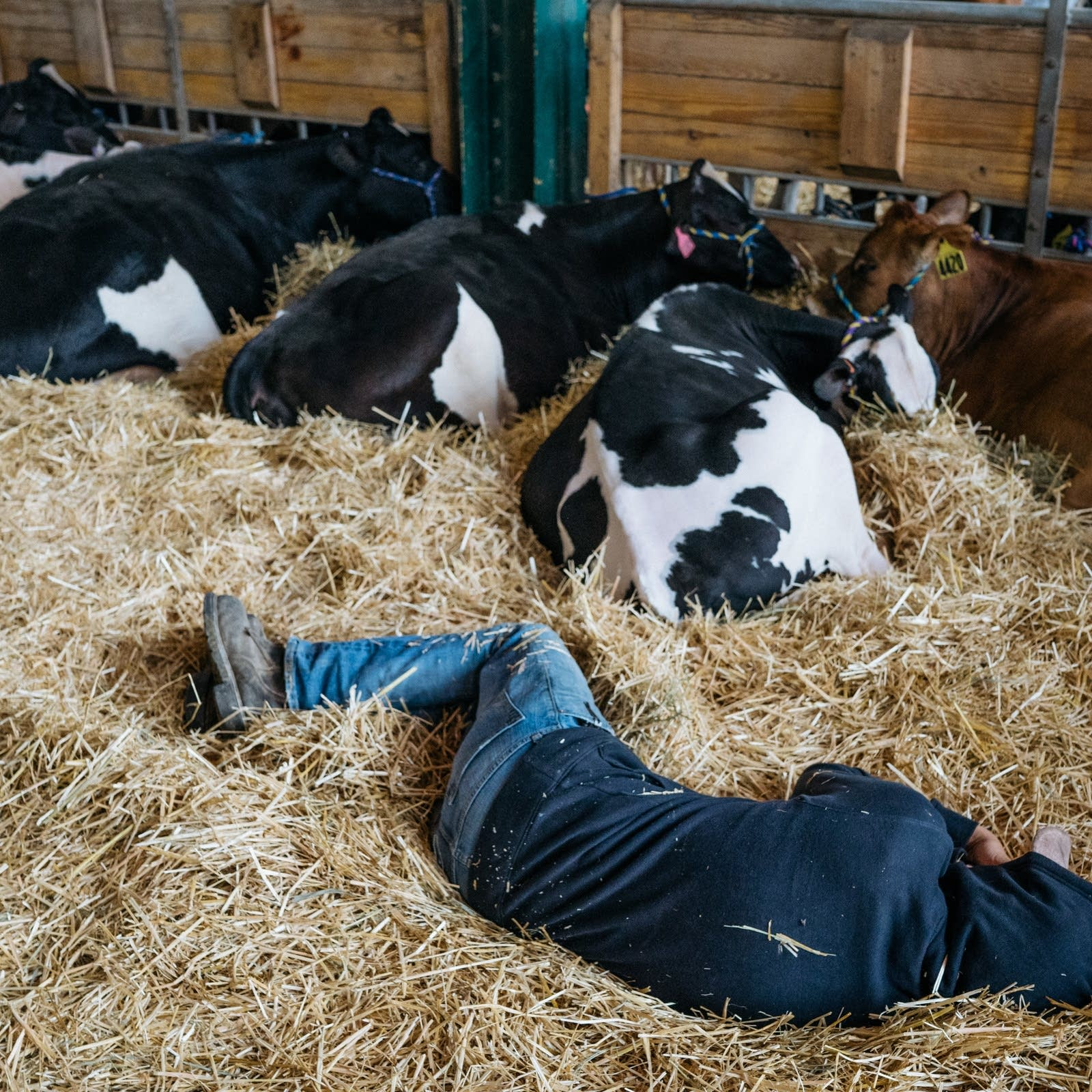 A person sleeps in the hay with cows inside the cow barn.