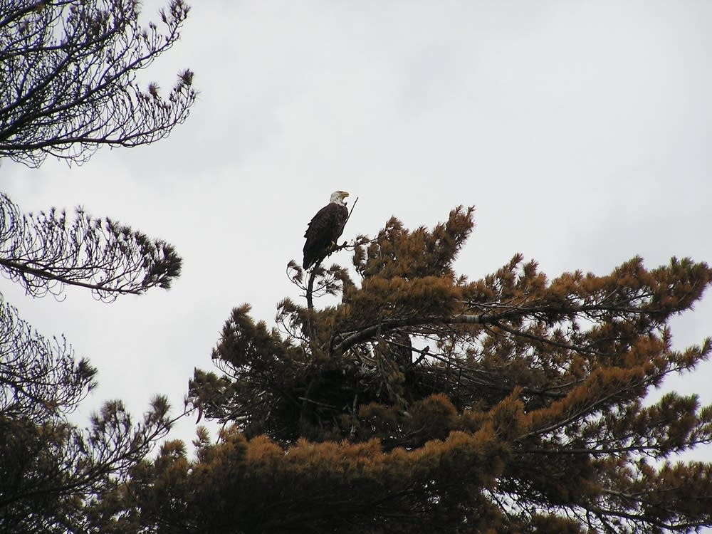 Eagle on Seagull Lake
