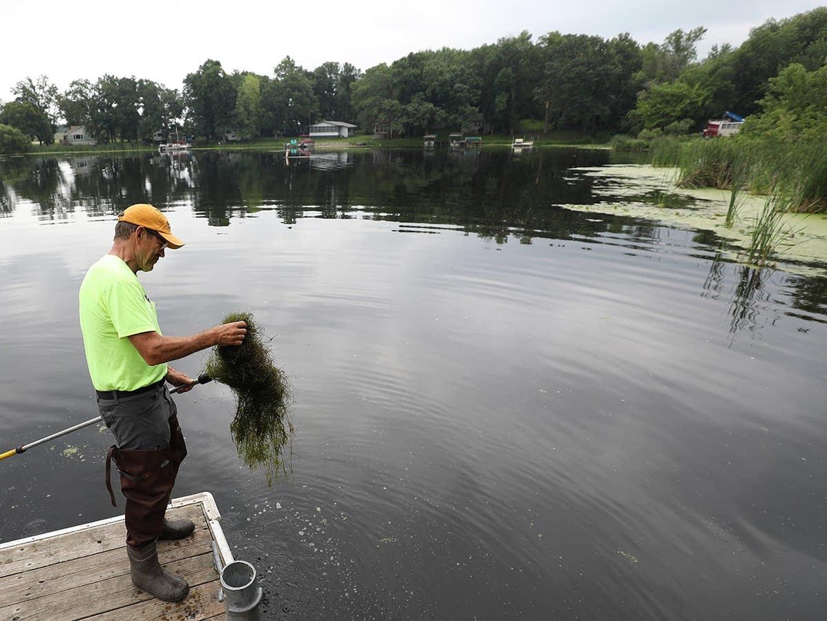Steve McComas pulls up a mat of starry stonewort on Lake Koronis