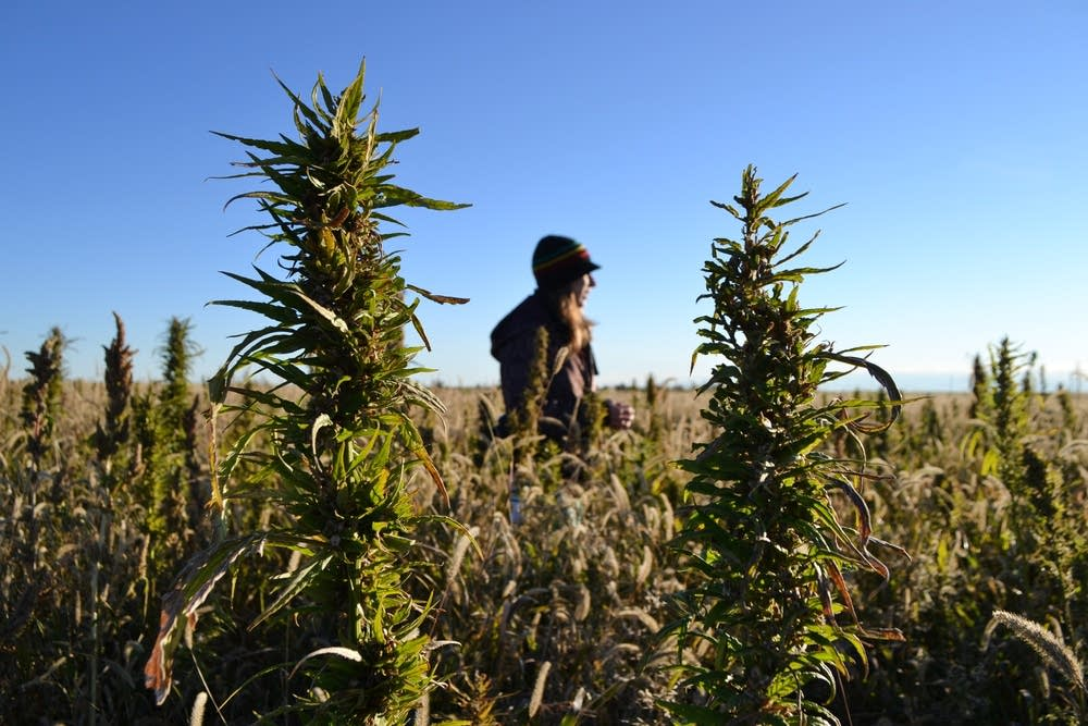 Industrial hemp in Colorado