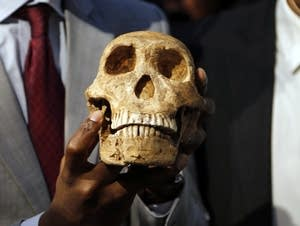 A replica skull of Homo naledi.