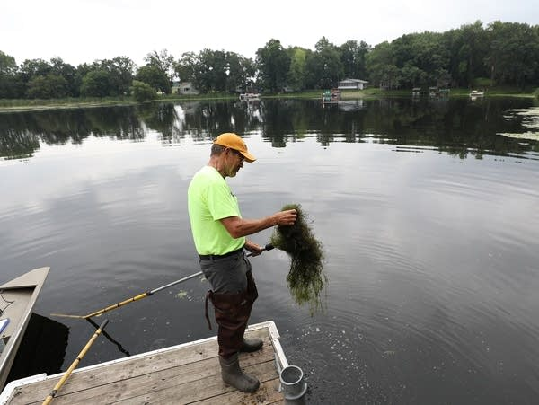 Steve McComas pulls up a mat of starry stonewort near a boat access.