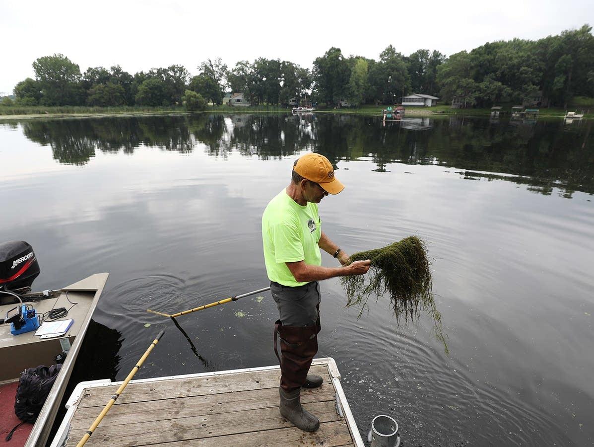 Steve McComas pulls up a mat of starry stonewort near a boat access
