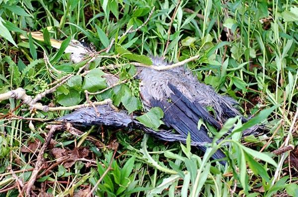 Dead heron