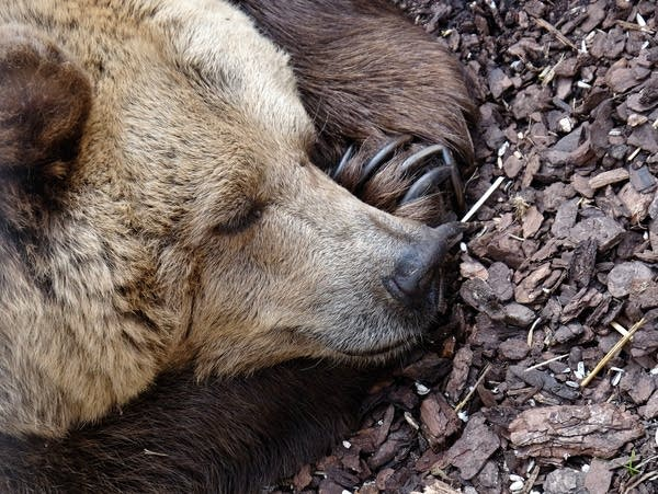 Bears, skunks and snakes are just a few examples of hibernating animals.