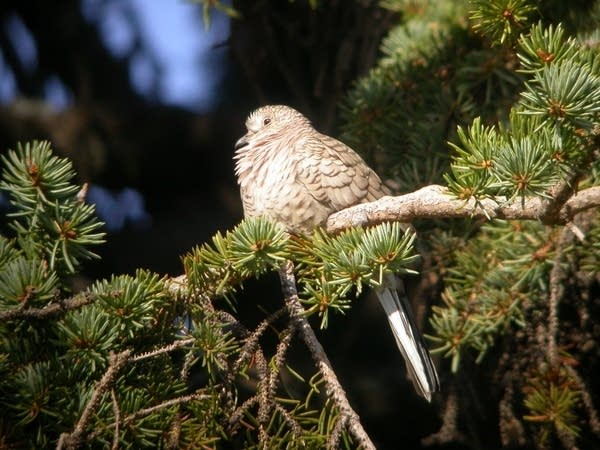 The first inca dove identified in Minnesota