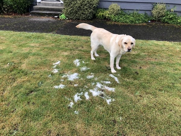 Rudy the PodDog stands next to piles of her fur after a grooming