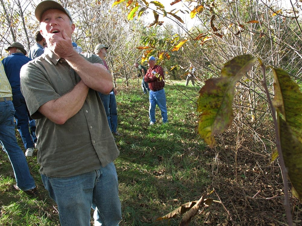 Hybrid chestnut orchard