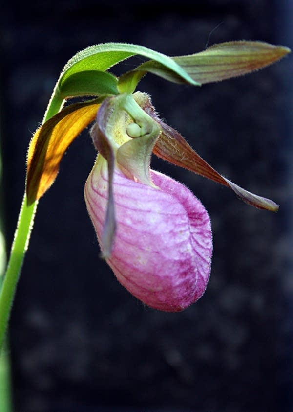 A showy lady's slipper