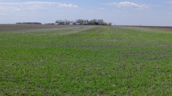 Betsy Jensen said she is pleased with the rye cover crop.