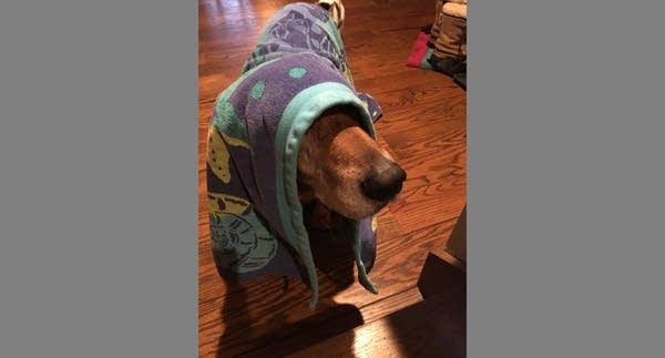 Medium size brown dog draped in a beach towel