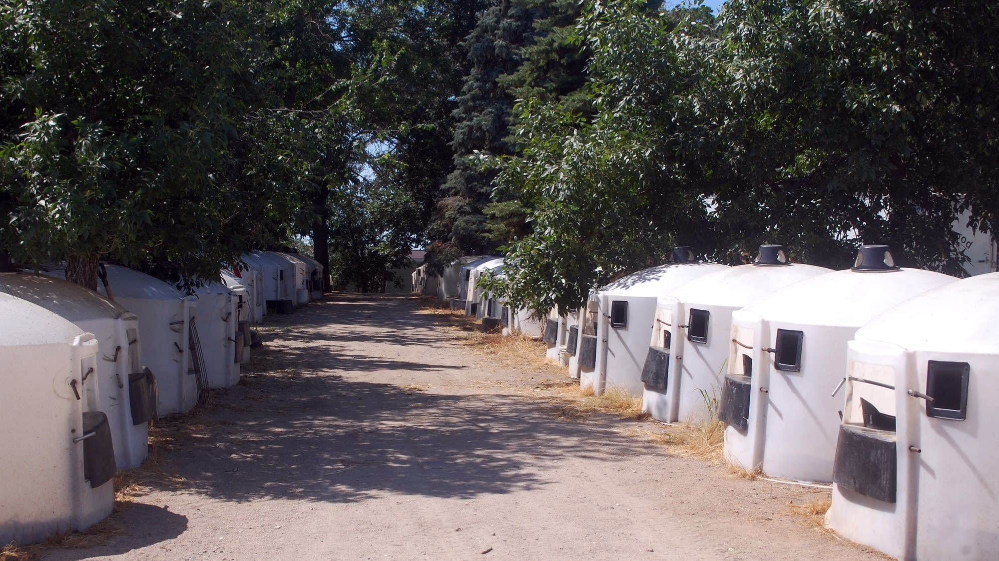 Rows of plastic huts house young calves.