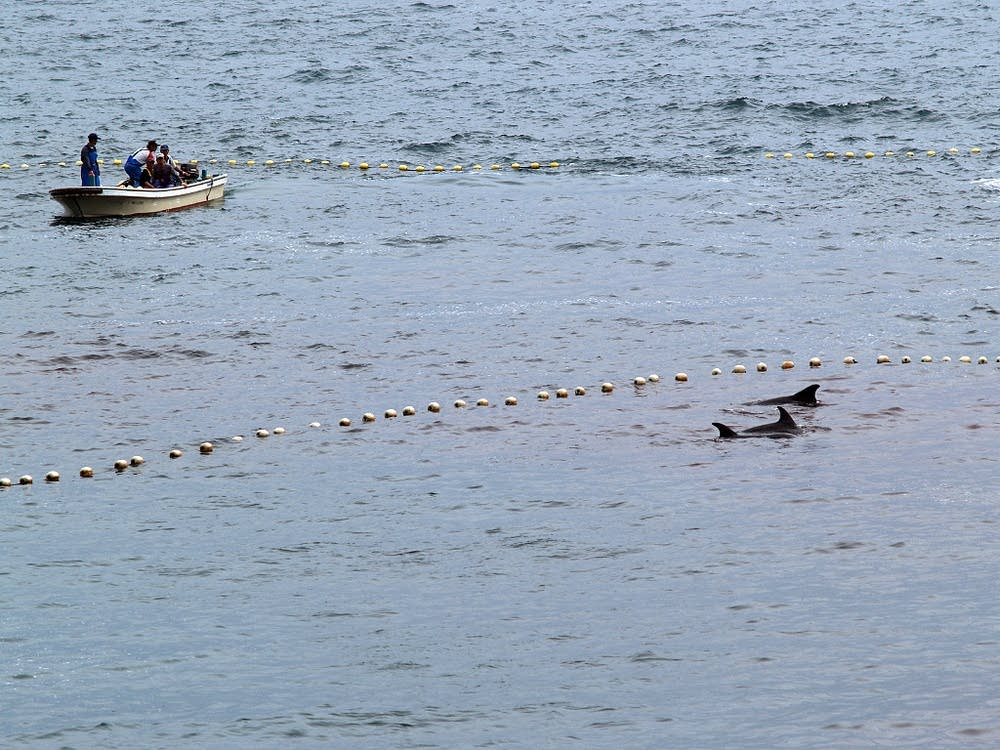 Netting dolphins