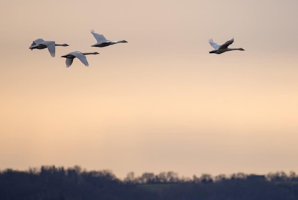 Tundra swans fly at around 50 mph when migrating.