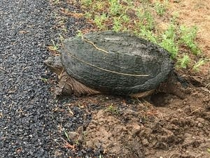 A turtle stands beside a road near Rice Lake in Breezy Point, Minn.,