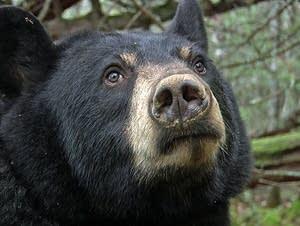 Lily, a black bear in hibernation