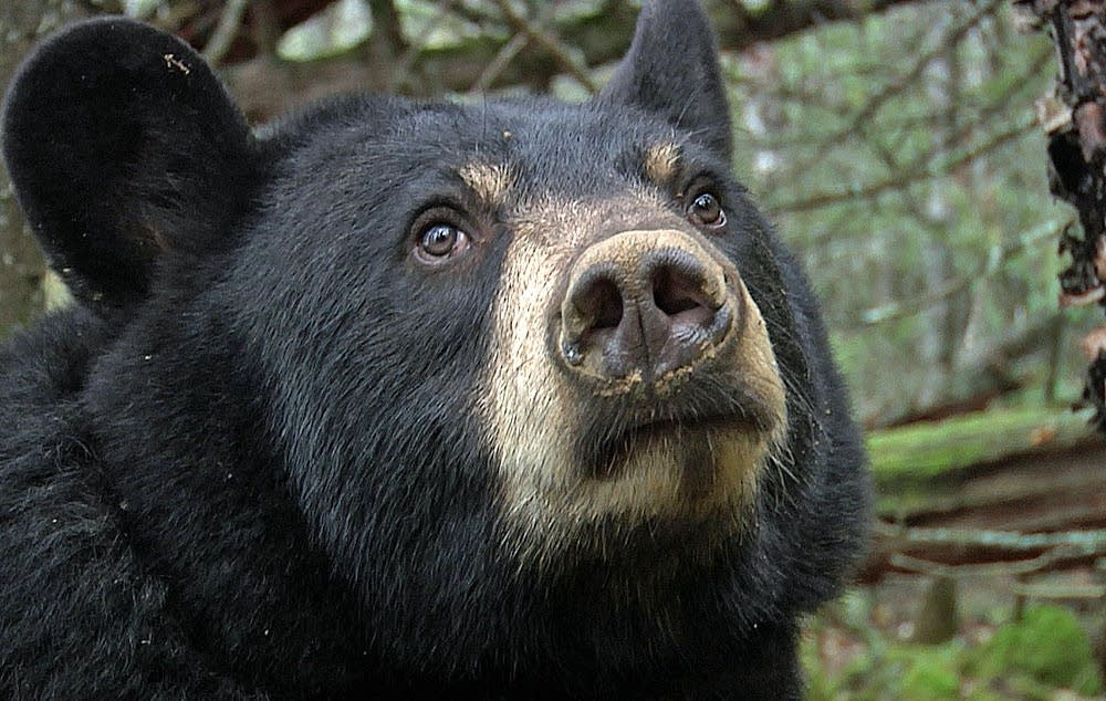 Lily, the black bear