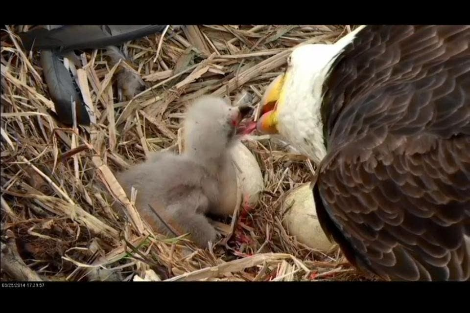 A bald eagle feeds a newly hatched eaglet Tuesday