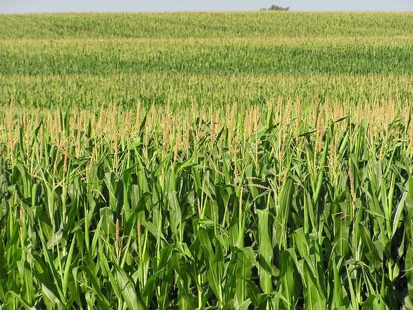 Corn, other crops can help boost humidity levels.