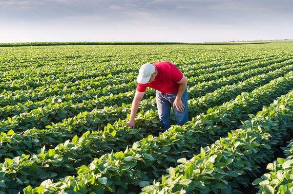 Agronomist in soybean fields