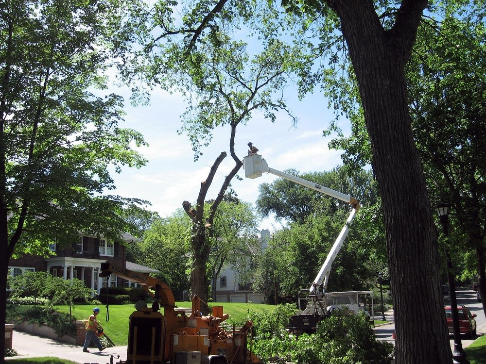 Topping a diseased elm