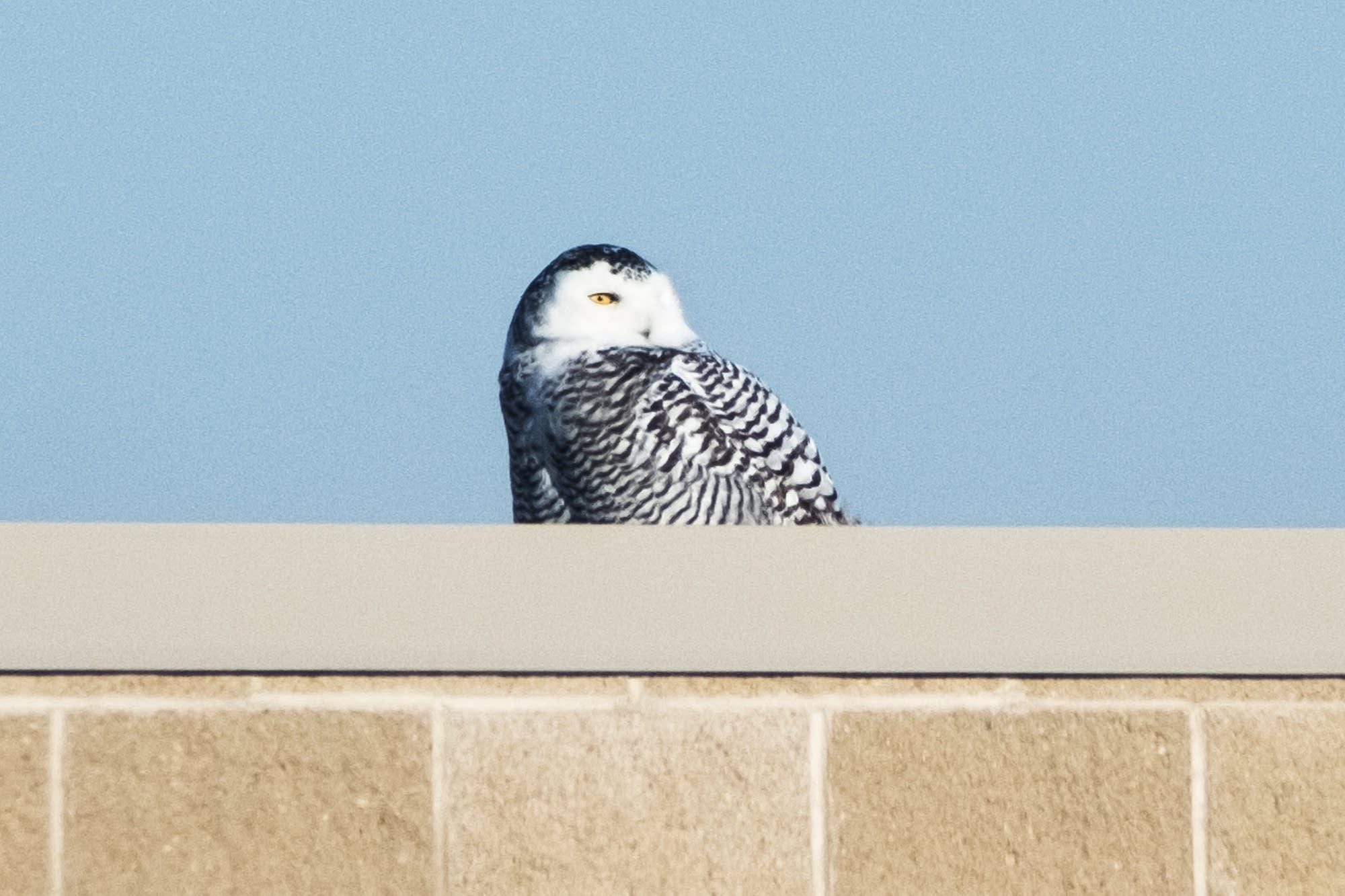 A snowy owl scans the tundra-like landscape of the airport