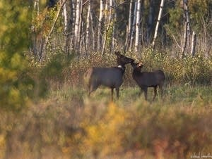 A cow and calf at the Caribou Wildlife  Management Area.
