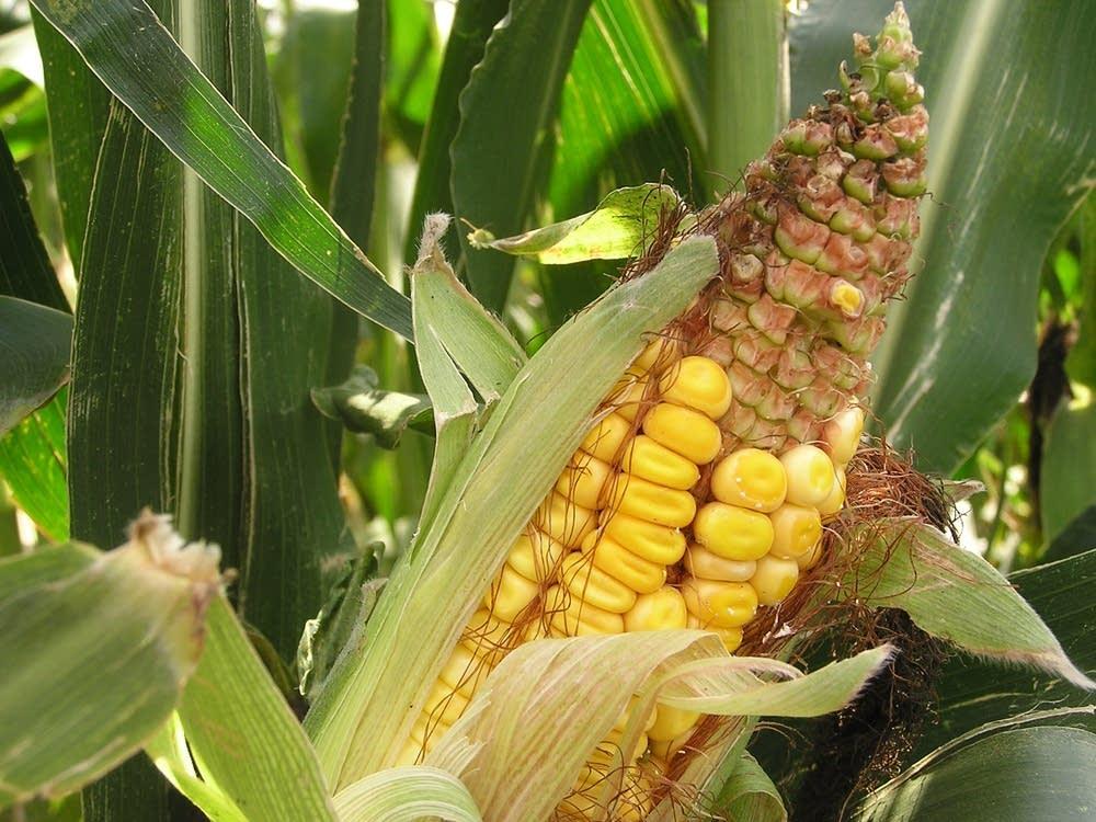Drought-damaged corn at a Farmfest plot