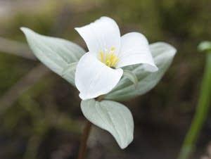 A snow trillium flower In the Eloise Butler Wildflower Garden.