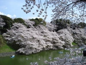 Sakura trees in bloom