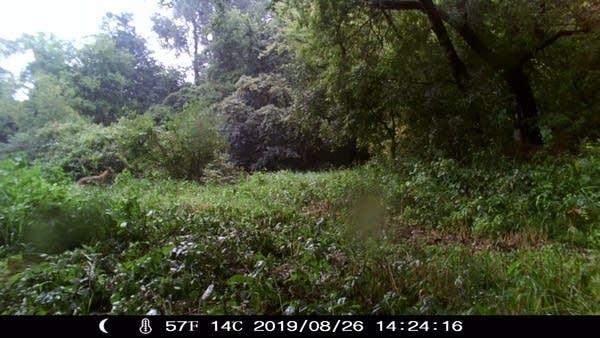 Possible cougar roaming Eden Prairie