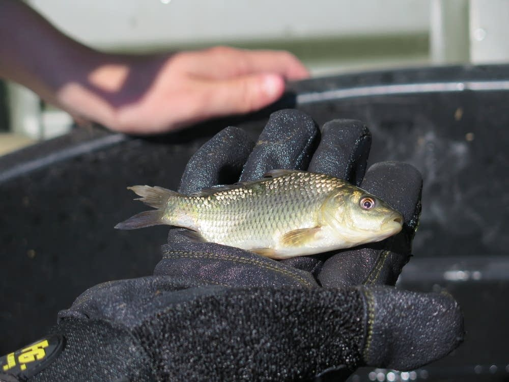 Tracking carp
