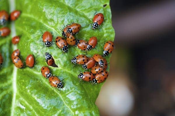 Ladybugs on a leaf (stock photo)