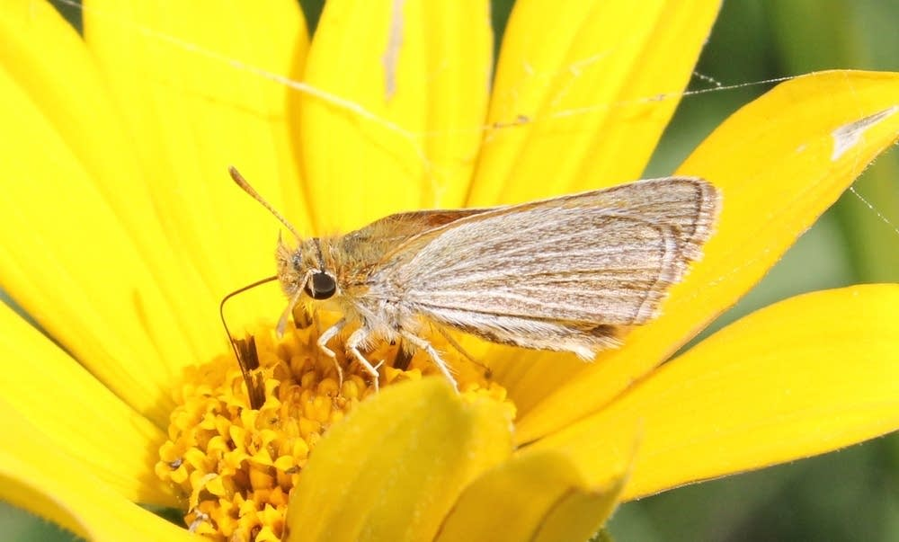Poweshiek skipperling butterfly sideview