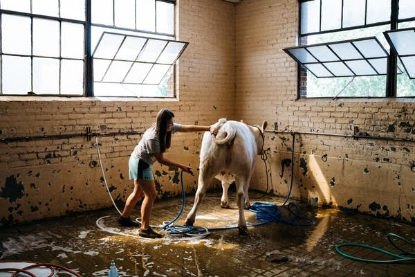 Seventeen-year-old Payton Waage washes her cow, January.