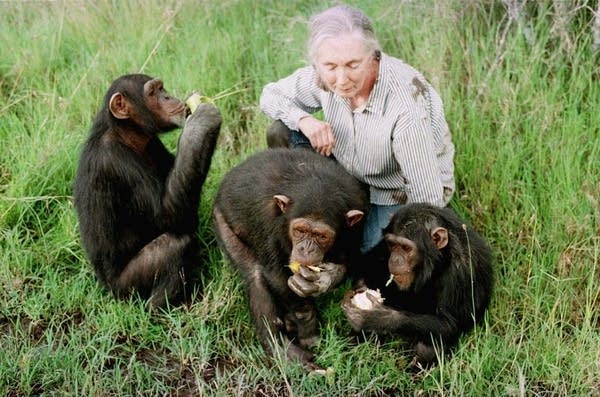 Jane Goodall observes chimps at a sanctuary in Kenya in 1997.