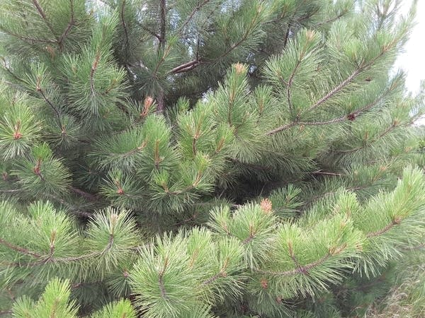 Red pine trees damaged by red pine shoot moths