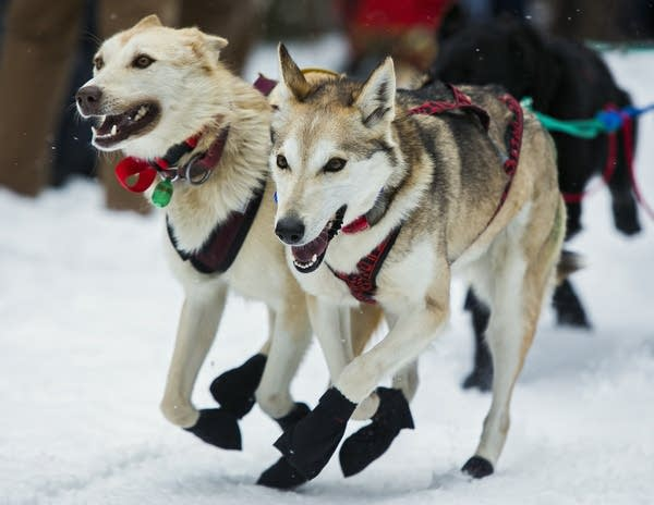 Sled dogs take off at the start.