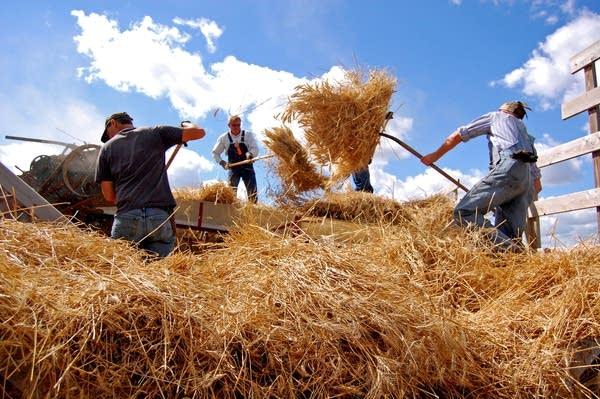 Loading wheat