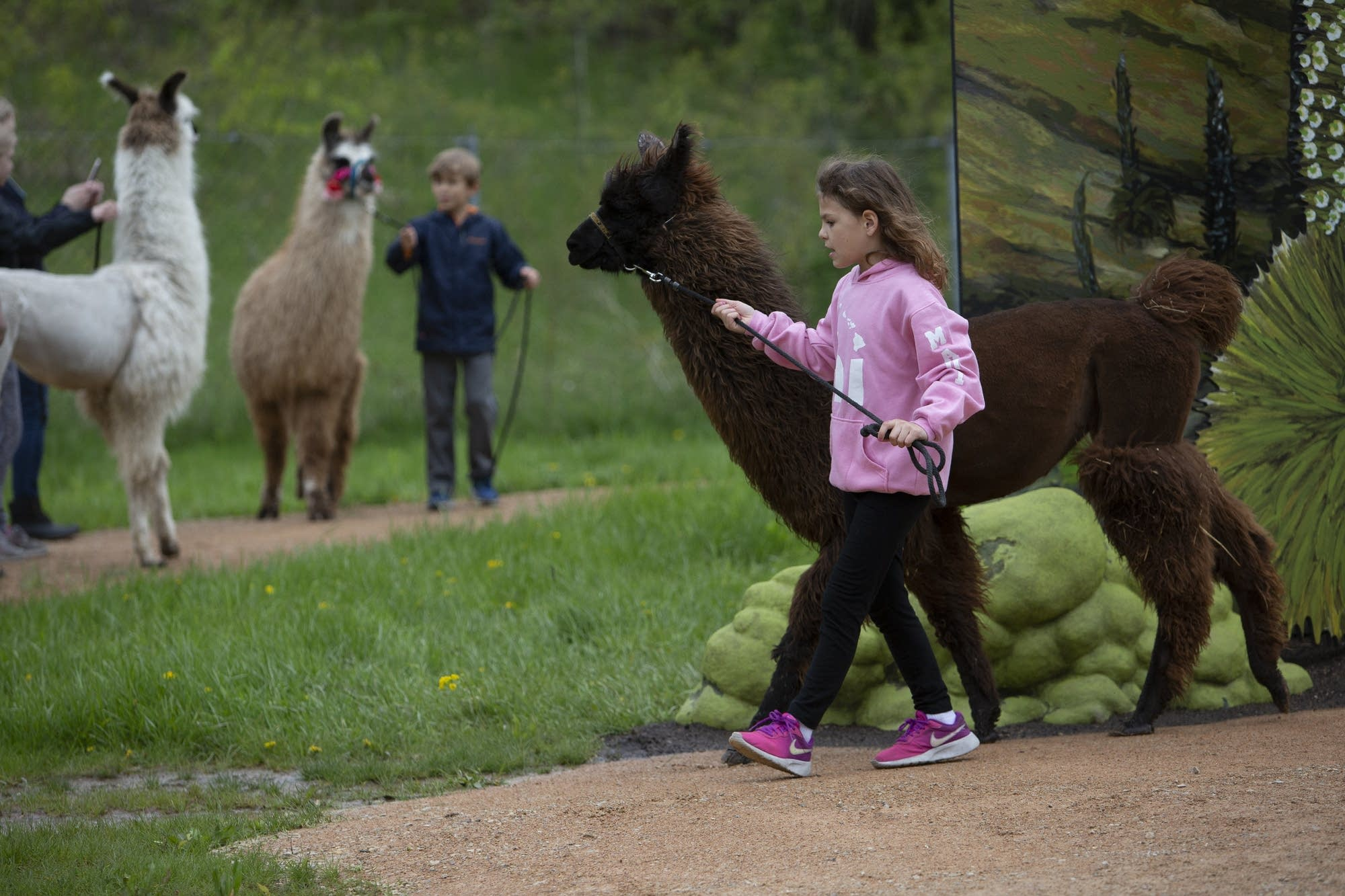 Kristen Strohsack, 9, of the Carver County 4H walks a llama.
