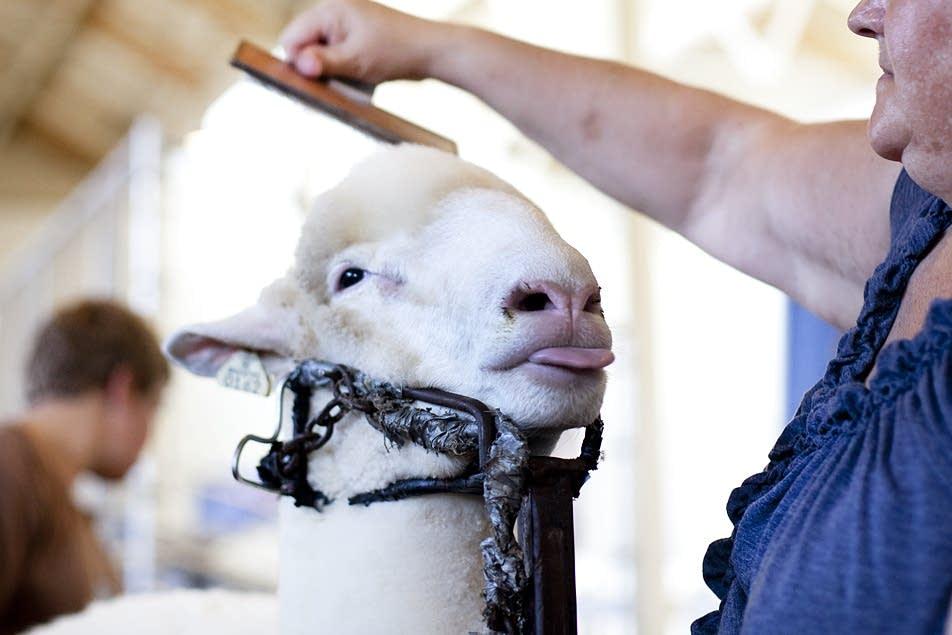 Gail Donkers grooms her ewe.