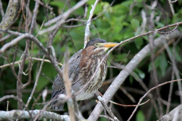Four green herons were released Thursday.