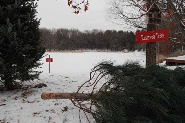 A felled tree sits near the pond at Krueger's Christmas tree farm.