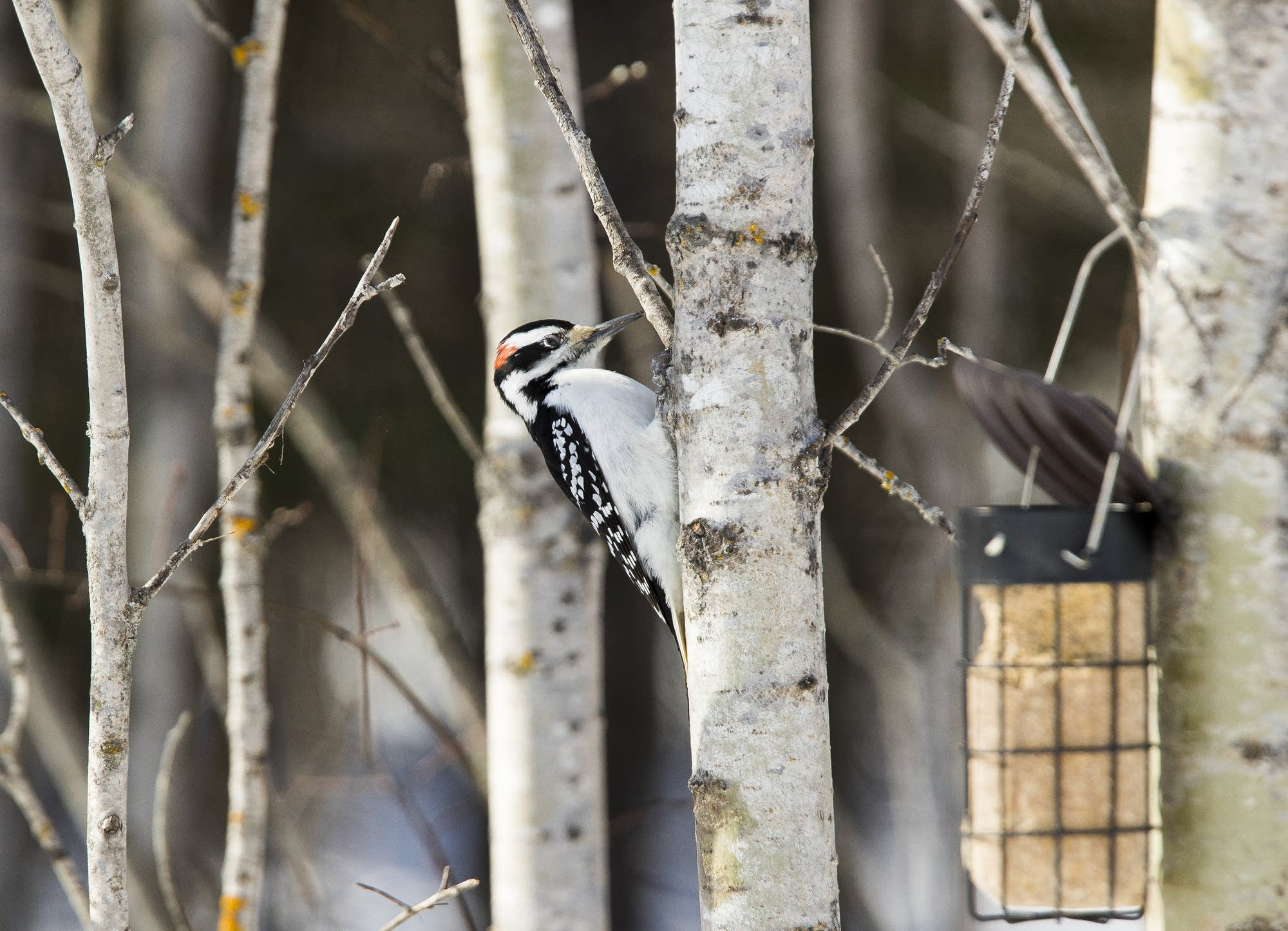 A hairy woodpecker clings to a birch tree