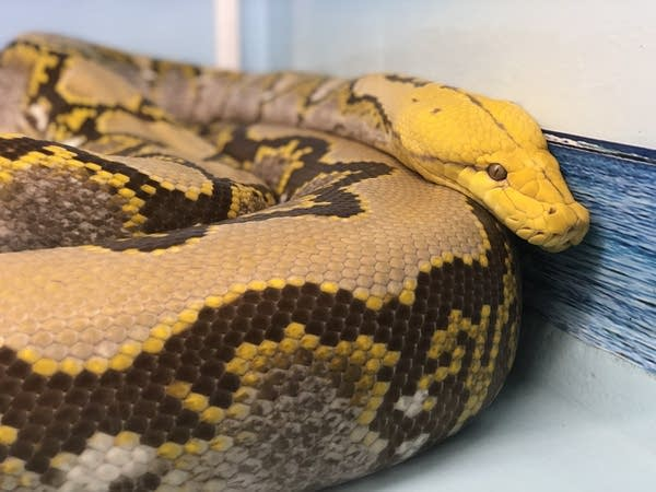 A reticulated python sits in its habitat.
