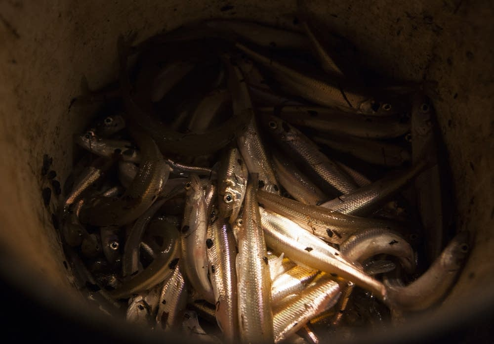A bucket of smelt