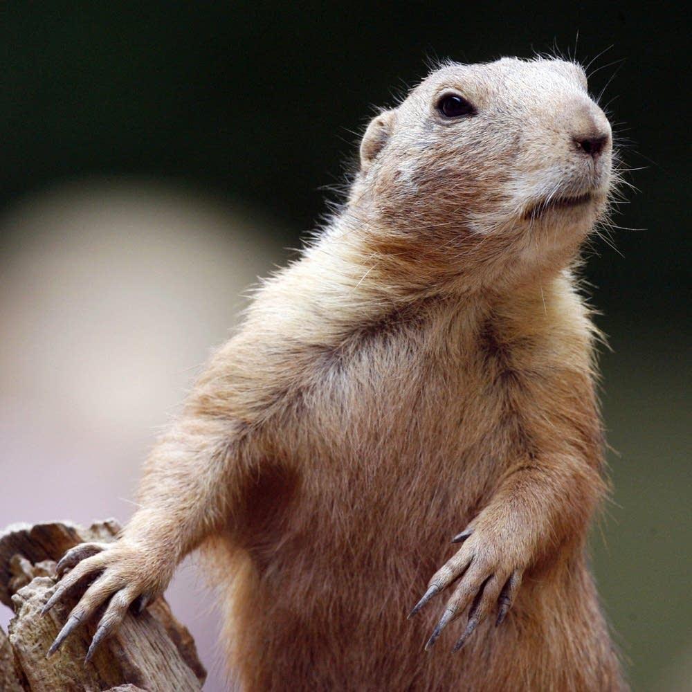 A black-tailed prairie dog looks around