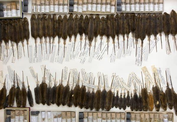 Mice specimens