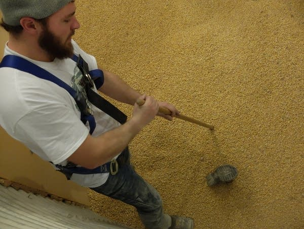 a man probes grain for a buried dummy used in a training exercise
